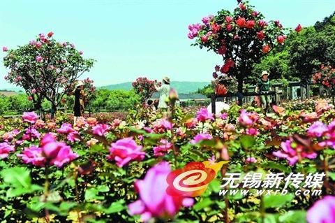 无锡龙寺生态园70余亩玫瑰花海吸引市民观赏